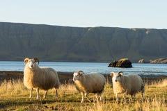 Grupa icelandic cakle przy zatoką Fotografia Stock