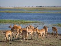Grupa impala antylopy karmi i pasa przed Chobe rzeką, Chobe park narodowy, Botswana, Afryka Fotografia Royalty Free