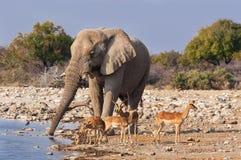 Grupa Impalas i męski słoń pije w waterhole w Etosha parku narodowym Obrazy Royalty Free