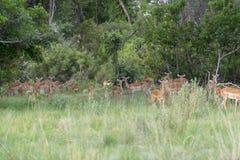 Grupa impalas w krzaku Obraz Royalty Free