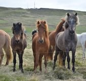 Grupa Islandzcy konie przy ogrodzeniem fotografia stock