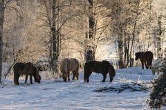Grupa Islandzcy konie w lodzie i śniegu zdjęcia royalty free