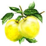 Grupa jabłko z liściem na gałąź royalty ilustracja