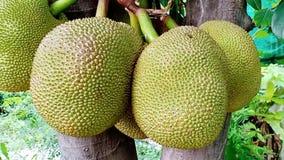 grupa jackfruits w ogródzie zdjęcie wideo
