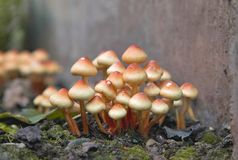 Grupa jasnobrązowe Siarczane czub pieczarki Fotografia Royalty Free