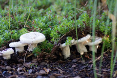 Grupa joung Lactarius Piperatus Obraz Stock