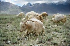 Grupa kózki pole, Padum, Zanskar vally obraz stock