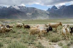 Grupa kózki pole, Padum, Zanskar vally zdjęcia stock