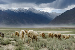 Grupa kózki pole, Padum, Zanskar vally obraz royalty free