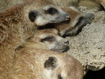 Grupa kłama wpólnie meerkats Obraz Royalty Free