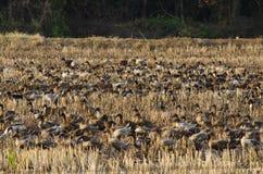 Grupa kaczek chodzić Zdjęcia Stock