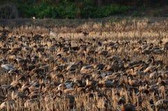 Grupa kaczek chodzić Zdjęcia Royalty Free