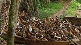 Grupa kaczki Obrazy Royalty Free