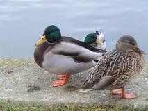 Grupa kaczki blisko nawadnia Fotografia Stock