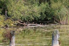 Grupa kaczki na beli zdjęcie royalty free