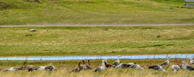 Grupa kaczki w stawie obraz stock