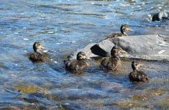 Grupa kaczątka Obraz Royalty Free
