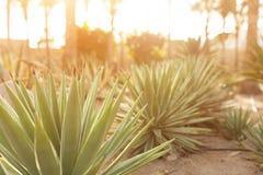 Grupa kaktusowi krzaki na dekoracyjnym kwiatu ogródzie agawa Obrazy Stock