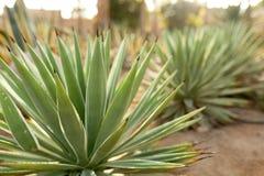 Grupa kaktusowi krzaki na dekoracyjnym kwiatu ogródzie agawa Obraz Stock