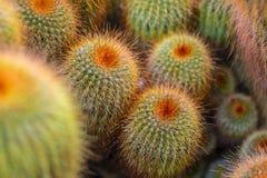 Grupa kaktusy z długimi, nikłymi prickles, zwarci gąszcze kaktus, zasięrzutny widok, tło fotografia royalty free