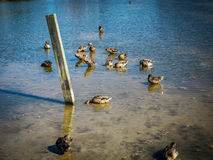 Grupa Karmi w płytkiej wodzie kaczki Obraz Royalty Free