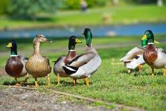 Grupa kilka piękne jaskrawe kaczki na gazonie obraz stock
