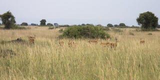 Grupa kob w królowej Elizabeth parku narodowym, Uganda Obraz Royalty Free
