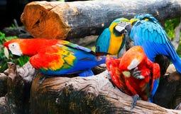Grupa kolorowa papuga na drewnie Zdjęcie Royalty Free