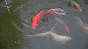 Grupa kolorowe ryba pływa w stawie Przeglądać od wierzchołka zdjęcie wideo