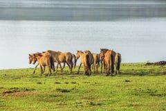 Grupa konia bieg Fotografia Stock