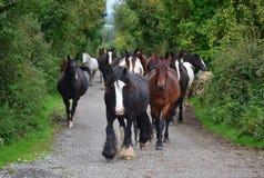 Grupa konie iść ich stajenka Irlandia obrazy royalty free