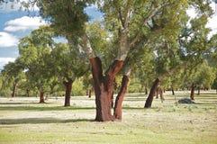 Grupa korkowi drzewa Fotografia Stock