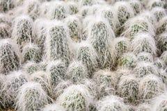 Grupa kosmaty spiny starego człowieka kaktus zdjęcie royalty free