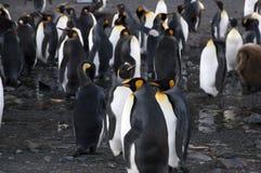 Grupa królewiątko pingwiny obrazy royalty free