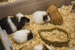 Grupa króliki doświadczalni w łasowanie punkcie Zdjęcia Stock