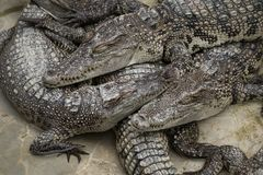 Grupa krokodyla dosypianie Fotografia Royalty Free