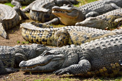 Grupa krokodyle Obraz Royalty Free