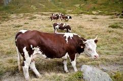 Grupa krowy Zdjęcia Royalty Free