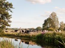 Grupa krowy blokuje kraju spaceru bramy rodziny od omijania obraz royalty free