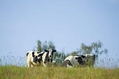 Grupa krowy stoi na zielonej łące obraz royalty free