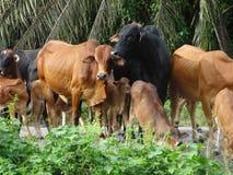 grupa krowy w polu Obraz Royalty Free