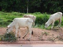 grupa krowy w polu Zdjęcia Royalty Free