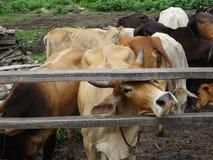 Grupa krowy w rancho Zdjęcie Royalty Free