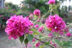 Grupa kwiat menchii bougainvillea kwiat Zdjęcie Stock