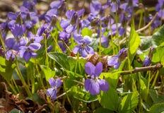Grupa kwitnący fiołki Fotografia Stock