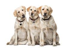 Grupa Labrador Retriever jest prześladowanym obsiadanie fotografia stock