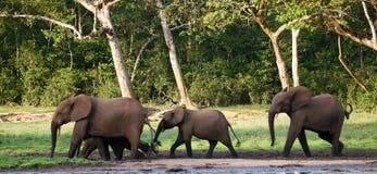 Grupa lasowi słonie w lasowej krawędzi Fotografia Royalty Free