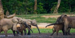Grupa lasowi słonie w lasowej krawędzi Zdjęcia Stock