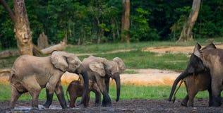 Grupa lasowi słonie w lasowej krawędzi Obraz Stock