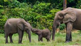 Grupa lasowi słonie w lasowej krawędzi Obrazy Royalty Free